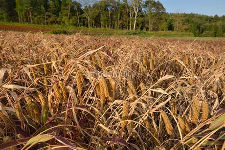 粟の実畑の写真素材 [FYI01718244]