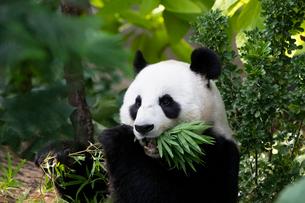笹を食べるパンダの写真素材 [FYI01718297]