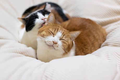舐める三毛猫の写真素材 [FYI01718337]