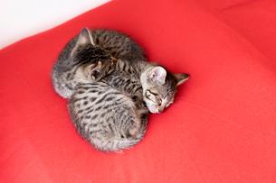 眠る仔猫たちの写真素材 [FYI01718409]
