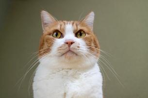 見つめる丸顔の猫の写真素材 [FYI01718455]