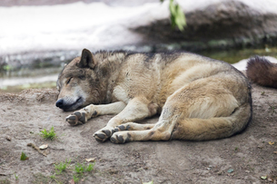 眠るシンリンオオカミの写真素材 [FYI01718559]