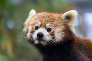 レッサーパンダの写真素材 [FYI01718615]