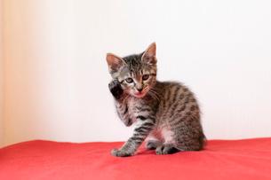 座る仔猫の写真素材 [FYI01718679]