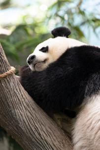 ジャイアントパンダの写真素材 [FYI01718735]