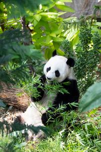 笹を食べるパンダの写真素材 [FYI01718744]