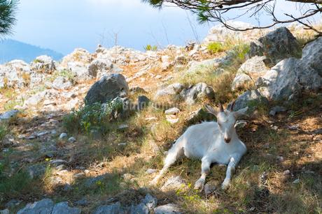 スルジ山頂のヤギの写真素材 [FYI01718820]