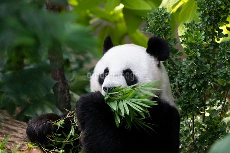 笹を食べるパンダの写真素材 [FYI01718967]