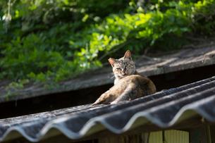 屋根の上のキジトラ猫の写真素材 [FYI01719080]