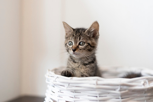 かごの中の仔猫の写真素材 [FYI01719120]