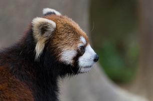 レッサーパンダの横顔の写真素材 [FYI01719333]