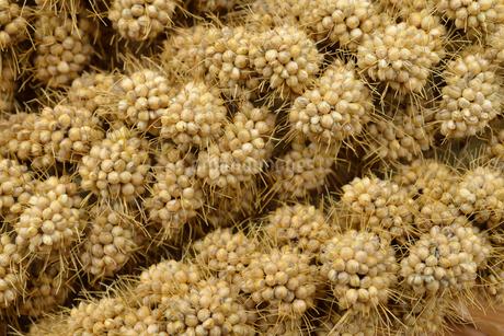 粟の実 穂の写真素材 [FYI01719343]