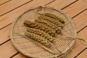 粟の実 穂の写真素材 [FYI01719371]