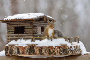 冬のニホンリスとログハウスの小屋の写真素材 [FYI01719416]