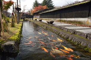 用水路の鯉の群れの写真素材 [FYI01719564]