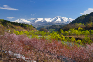 桜と新緑と月山の写真素材 [FYI01719593]