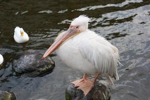 池の中のモモイロペリカンの写真素材 [FYI01719603]