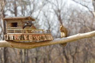 冬のニホンリス二匹とログハウスの小屋の写真素材 [FYI01719661]