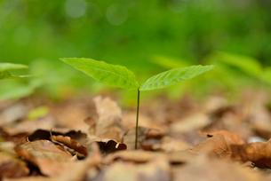 ブナの新芽の写真素材 [FYI01719681]