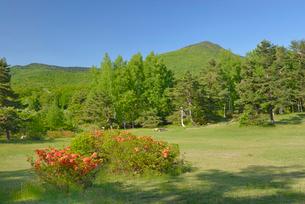 蔵王坊平高原とレンゲツツジの花の写真素材 [FYI01719687]