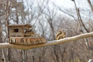 冬のニホンリス二匹とログハウスの小屋の写真素材 [FYI01719700]
