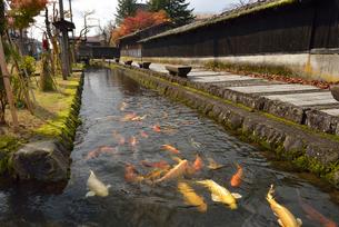 用水路の鯉の群れの写真素材 [FYI01719710]