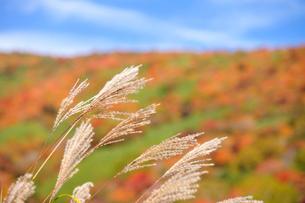 ススキの穂と紅葉の写真素材 [FYI01719751]