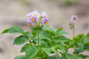 馬島 ジャガイモの花の写真素材 [FYI01719756]