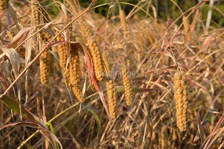 粟の実畑の写真素材 [FYI01719757]
