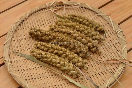 粟の実 穂の写真素材 [FYI01719803]