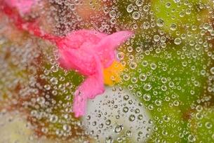 クモの糸と水玉と花の写真素材 [FYI01719813]