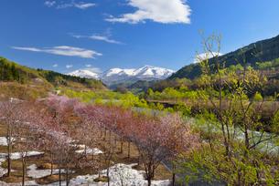 桜と新緑と月山の写真素材 [FYI01719831]