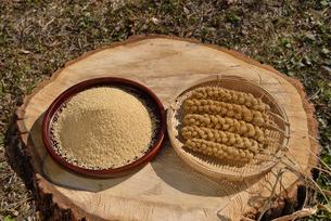 粟の殻をむいた実と穂の写真素材 [FYI01719835]