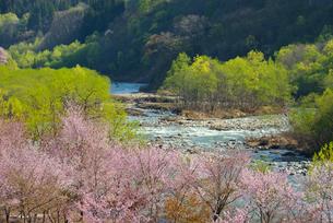 桜と新緑と寒河江川の写真素材 [FYI01719848]