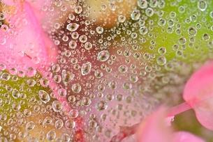 クモの糸と水玉と花の写真素材 [FYI01719851]