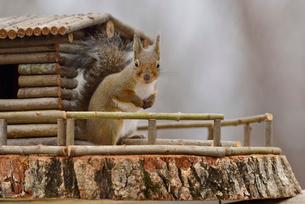 冬のニホンリスとログハウスの小屋の写真素材 [FYI01719868]