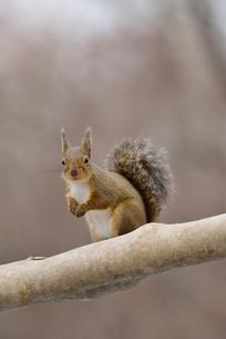 冬のニホンリスの写真素材 [FYI01719878]