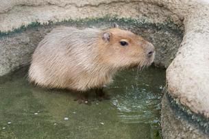 池に入るカピバラの写真素材 [FYI01719879]