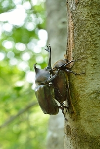 カブトムシのオスとメスの写真素材 [FYI01719908]