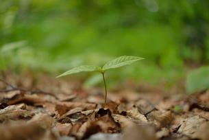 ブナの新芽の写真素材 [FYI01719923]