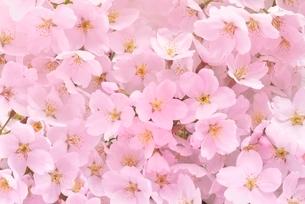 桜の花の写真素材 [FYI01719936]