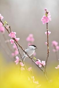 コガラと桃の花と菜の花の写真素材 [FYI01720006]