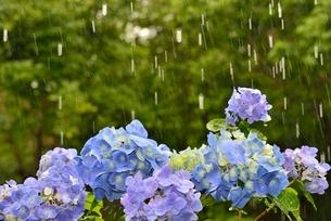雨とアジサイの花と森の写真素材 [FYI01720024]
