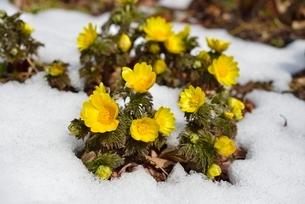 福寿草と雪の写真素材 [FYI01720055]