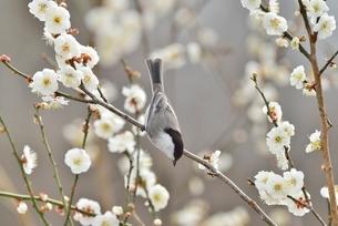 梅の花と小鳥(コガラ)の写真素材 [FYI01720092]