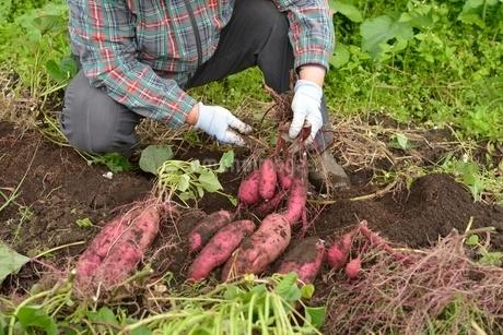 畑仕事サツマイモの収穫の写真素材 [FYI01720108]
