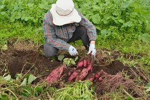 畑仕事サツマイモの収穫の写真素材 [FYI01720112]