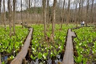 刺巻湿原の水芭蕉の写真素材 [FYI01720123]