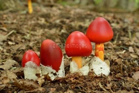 タマゴタケ(幼菌)の写真素材 [FYI01720138]