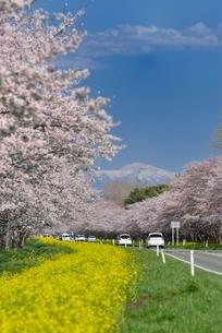 菜の花ロードと桜並木の写真素材 [FYI01720145]